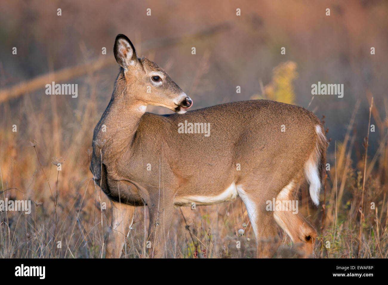 Whitetail doe deer in field looking over her back, licking her nose. - Stock Image