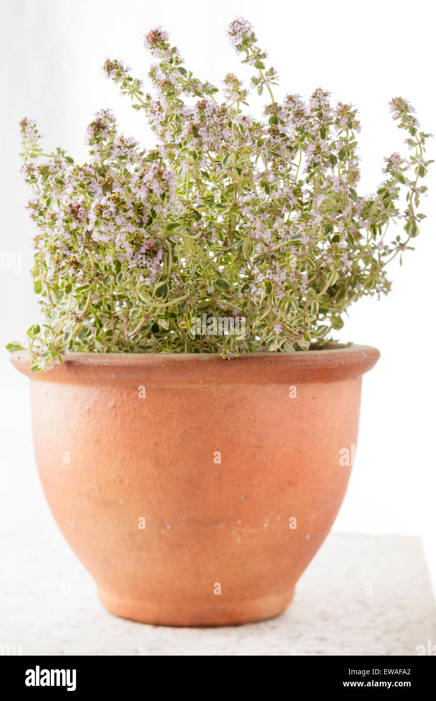 Common Thyme (Thymus vulgaris) plant in clay plant pot - Stock Image