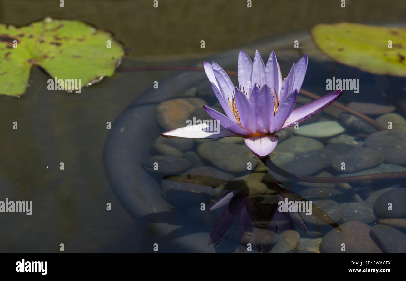 Blue Star Water Lily Nymphaea Nochali Floats In A Pond With Its