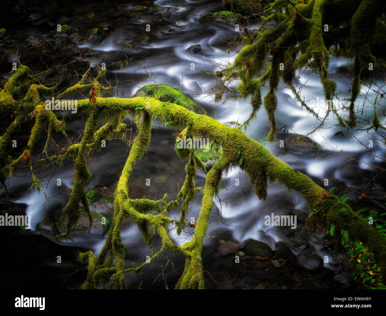 Moss covered tree along banks of Eagle Creek. Columbia River Gorge National Scenic Area, Oregon Stock Photo