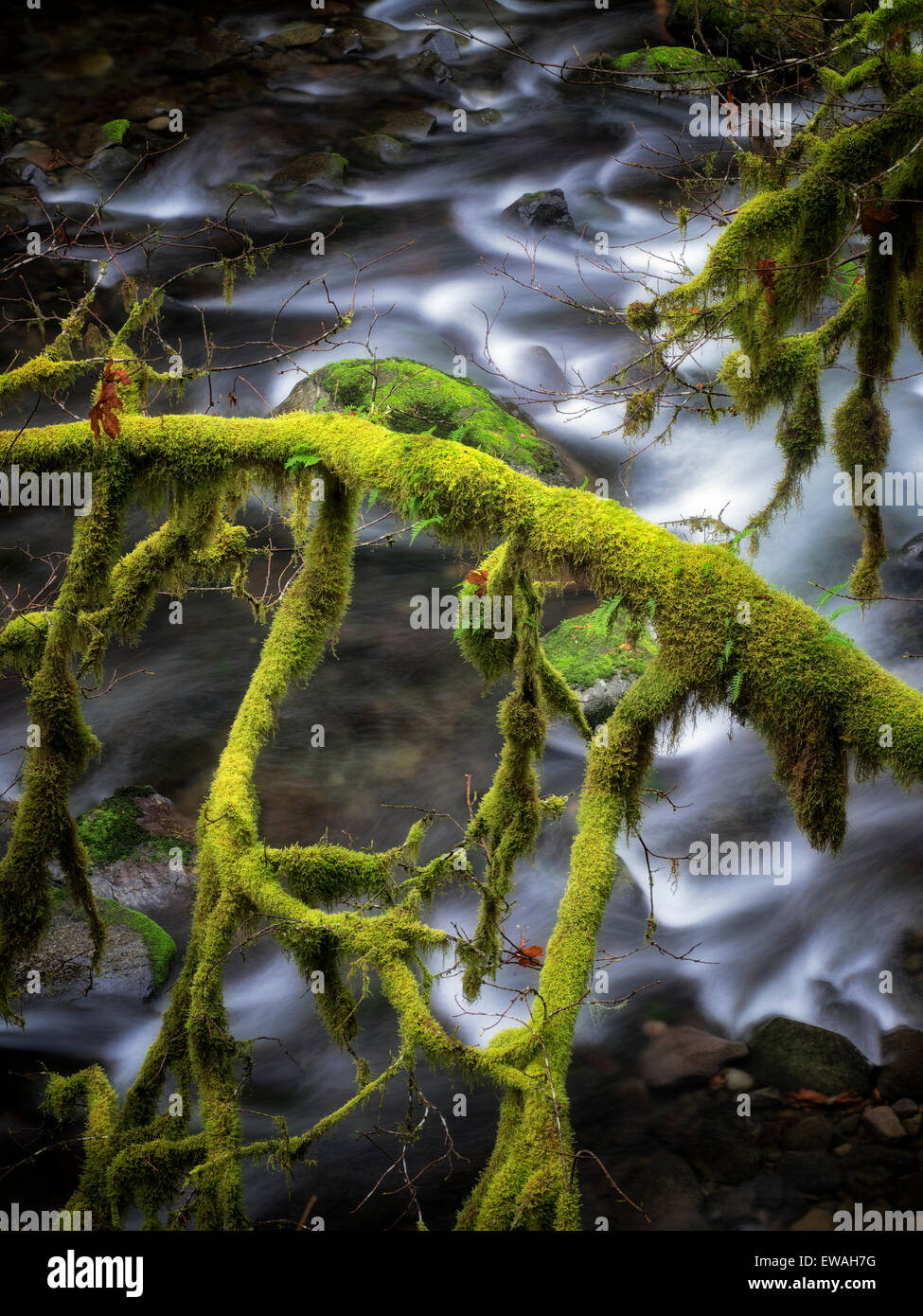 Moss covered tree along banks of Eagle Creek. Columbia River Gorge National Scenic Area, Oregon - Stock Image