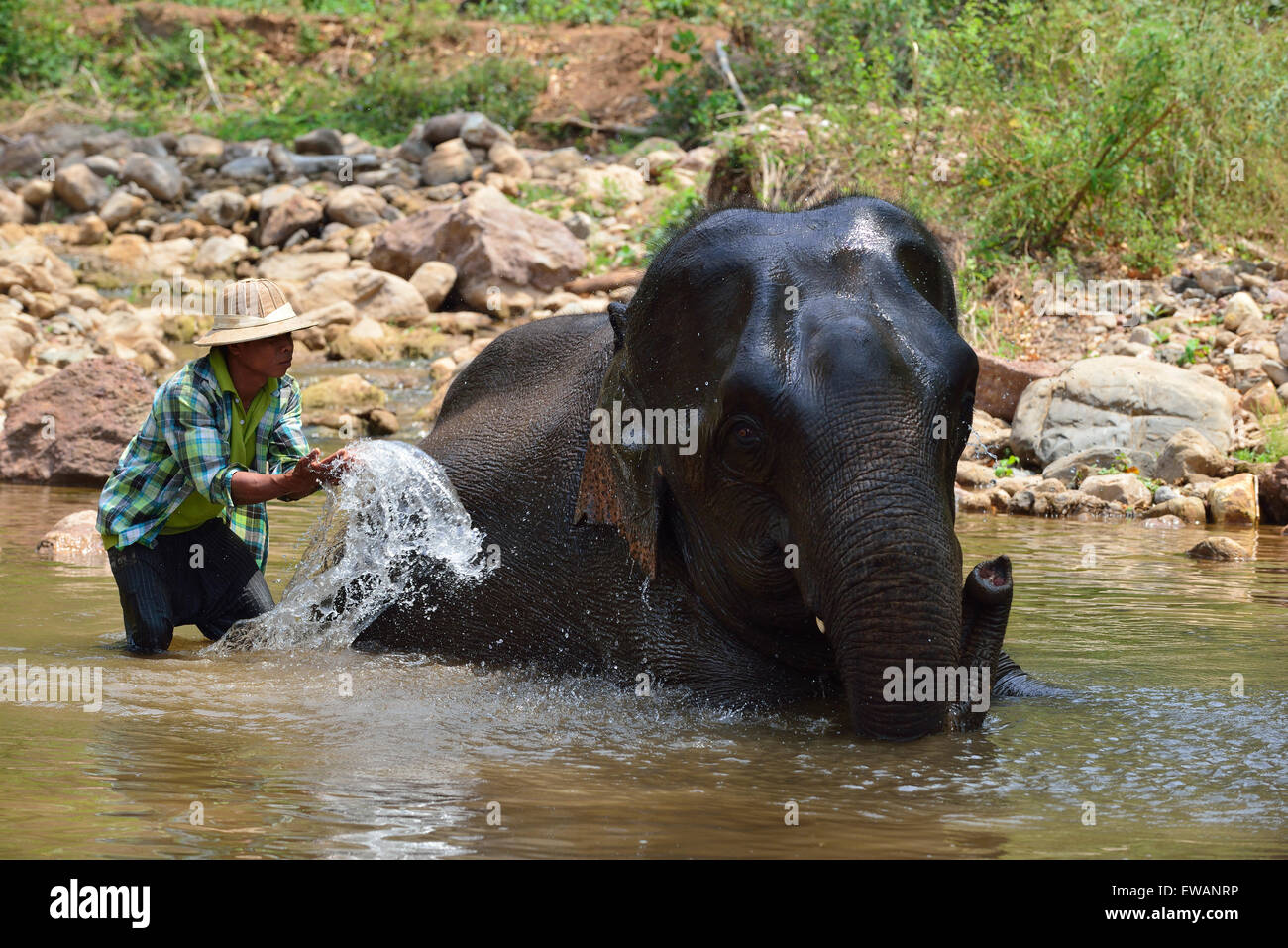Mahout bathing a rescued logging elephant in the stream  at the Green Hill Valley Elephant Camp Kalaw, Myanmar Burma - Stock Image