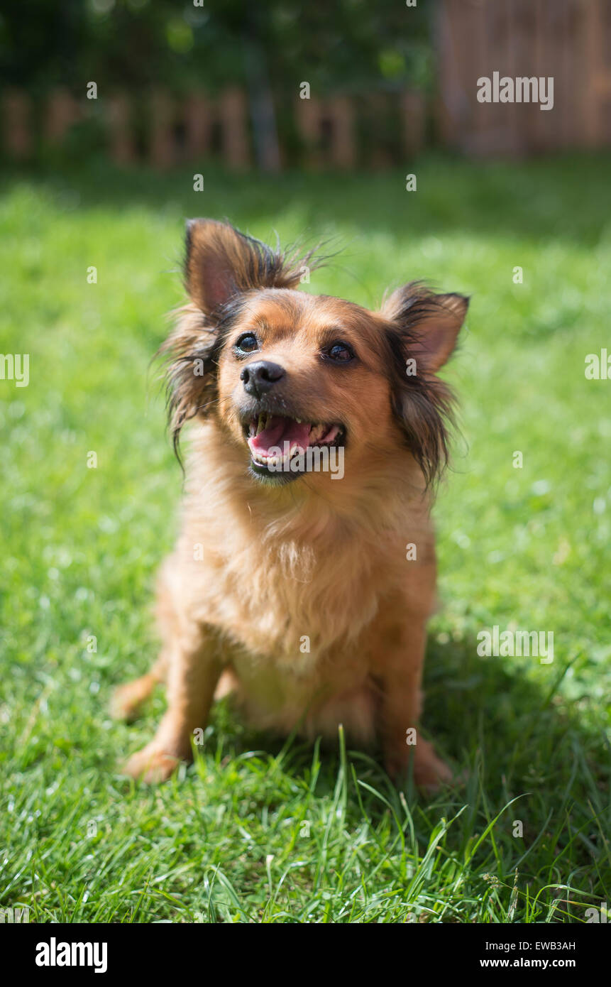 Small crossbred dog on the grass in a sunny day. - Stock Image