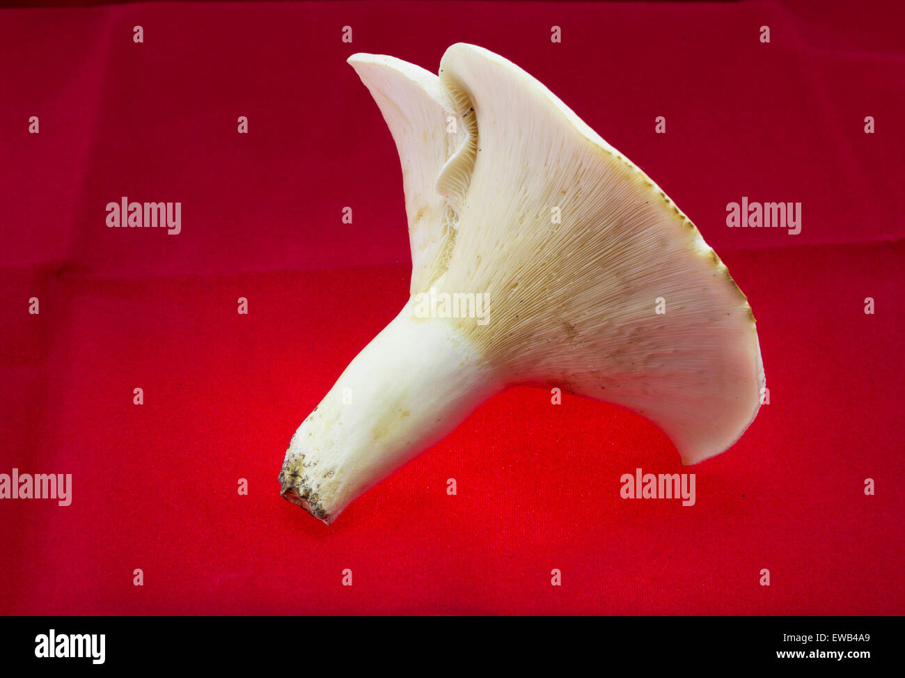 Mushroom Lactarius Piperatus isolated on red background - Stock Image
