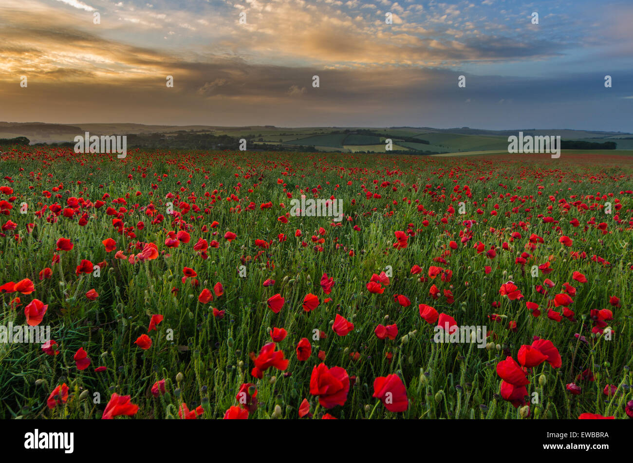 Poppy field at South Downs National Park, Brighton, West Sussex, England, UK Stock Photo