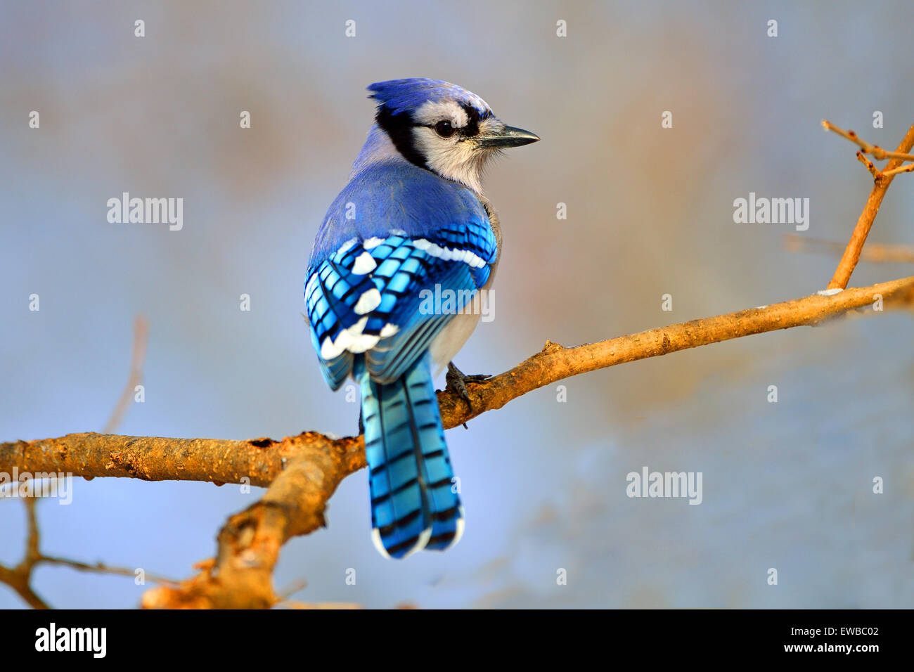 Blue Jay standing on a tree branch Stock Photo