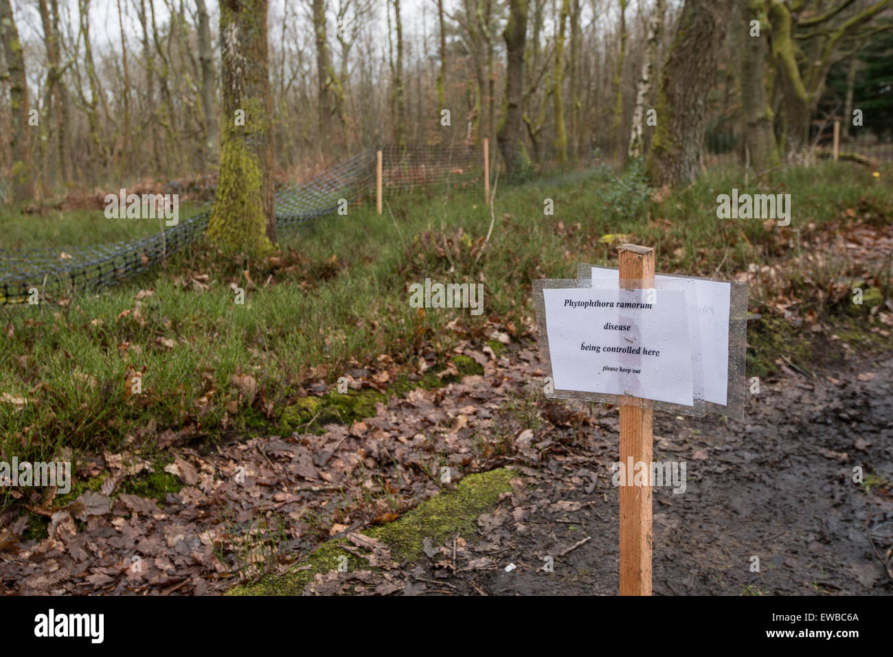 Plant Pathogen: Phytophthora ramorum. Control measures in woodland. Leith Hill, Surrey. England. Cause of Sudden - Stock Image