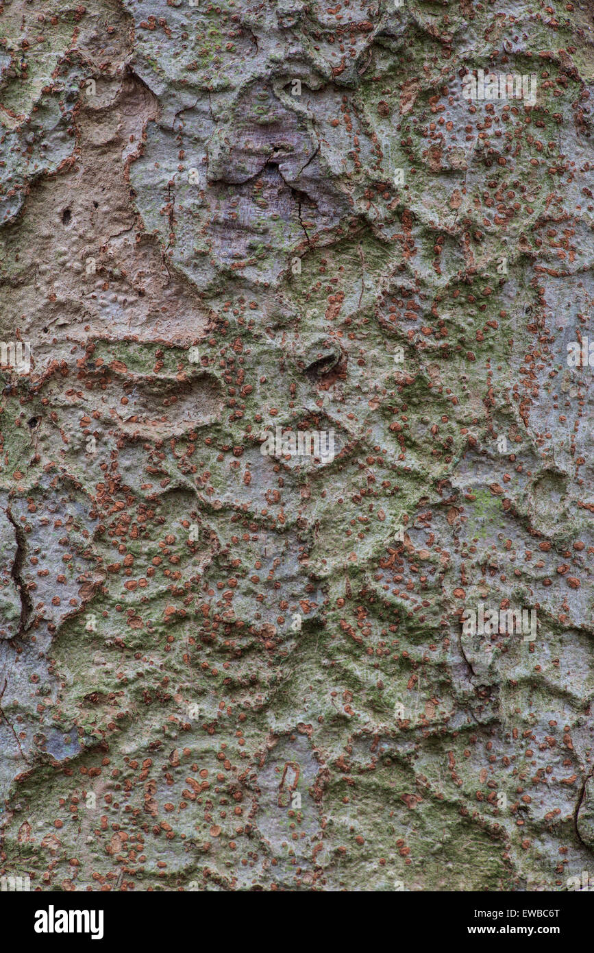 Zelkova serrata. Bark. Botanic Garden, Surrey, England - Stock Image