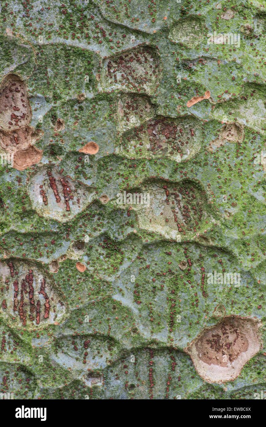 Zelkova sinica. Bark pattern - Stock Image