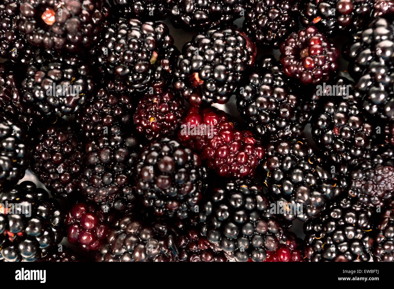 Abundance of fresh picked blackberries close up as background - Stock Image