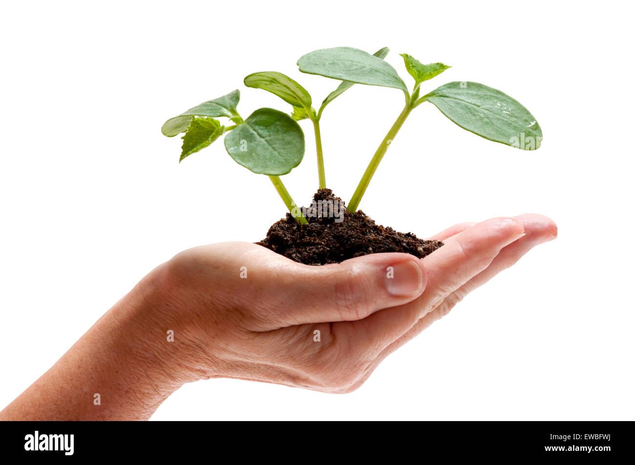 Holding New Life Symbol.  Hand holding young squash plants on white background - Stock Image