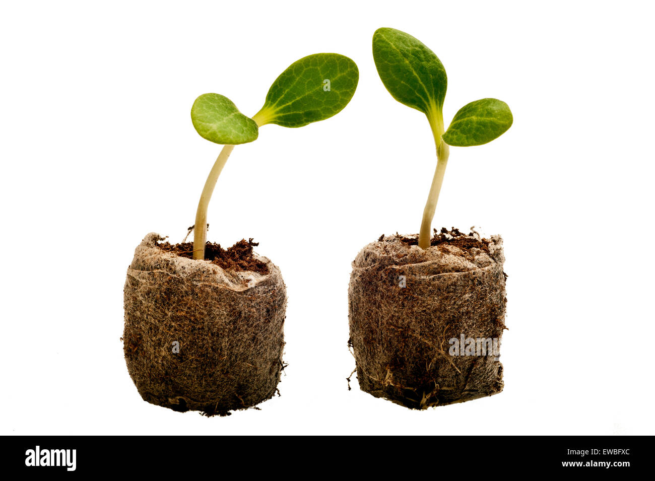 New lives two sprouts isolated on white background - Stock Image