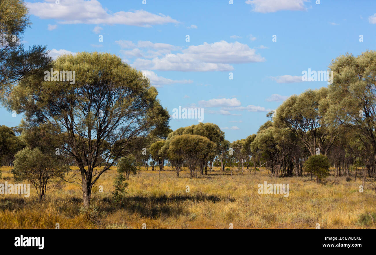 Brigalow (Acacia harpophylla) and grassland in the 'Brigalow Belt', Queensland's outback, Australia - Stock Image
