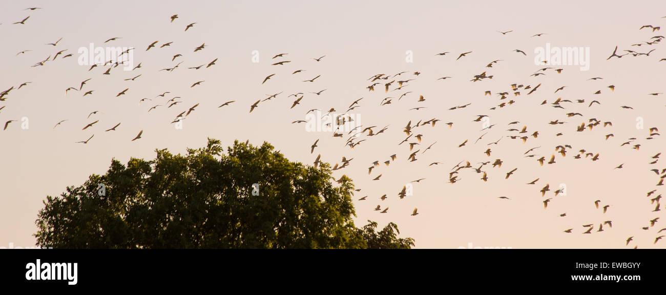 Flying flock of Little Corellas, Cacatua sanguinea, in outback Queensland, Australia - Stock Image