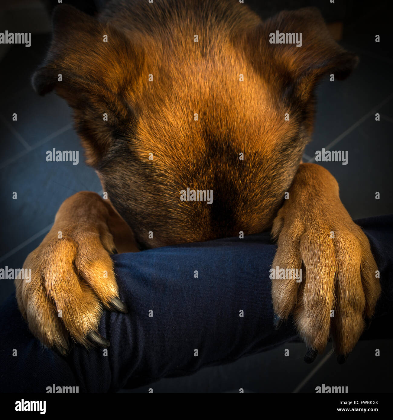 dog praying on someone's arm - Stock Image