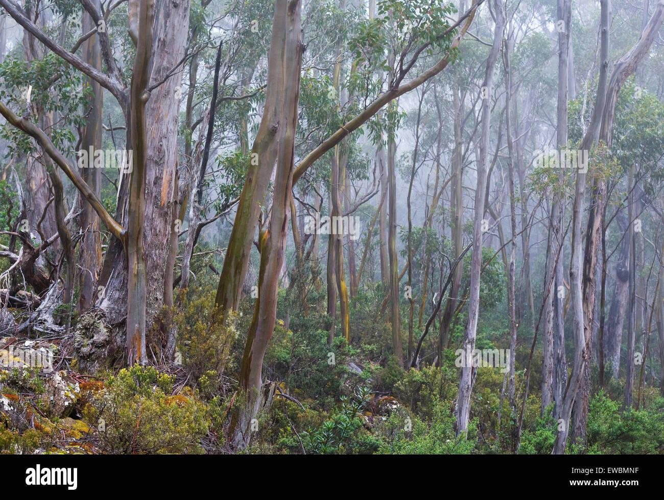 Alpine Yellow Gums (Eucalyptus subcrenulata) in a subalpine woodland in Mount Field National Park, Tasmania, Australia - Stock Image