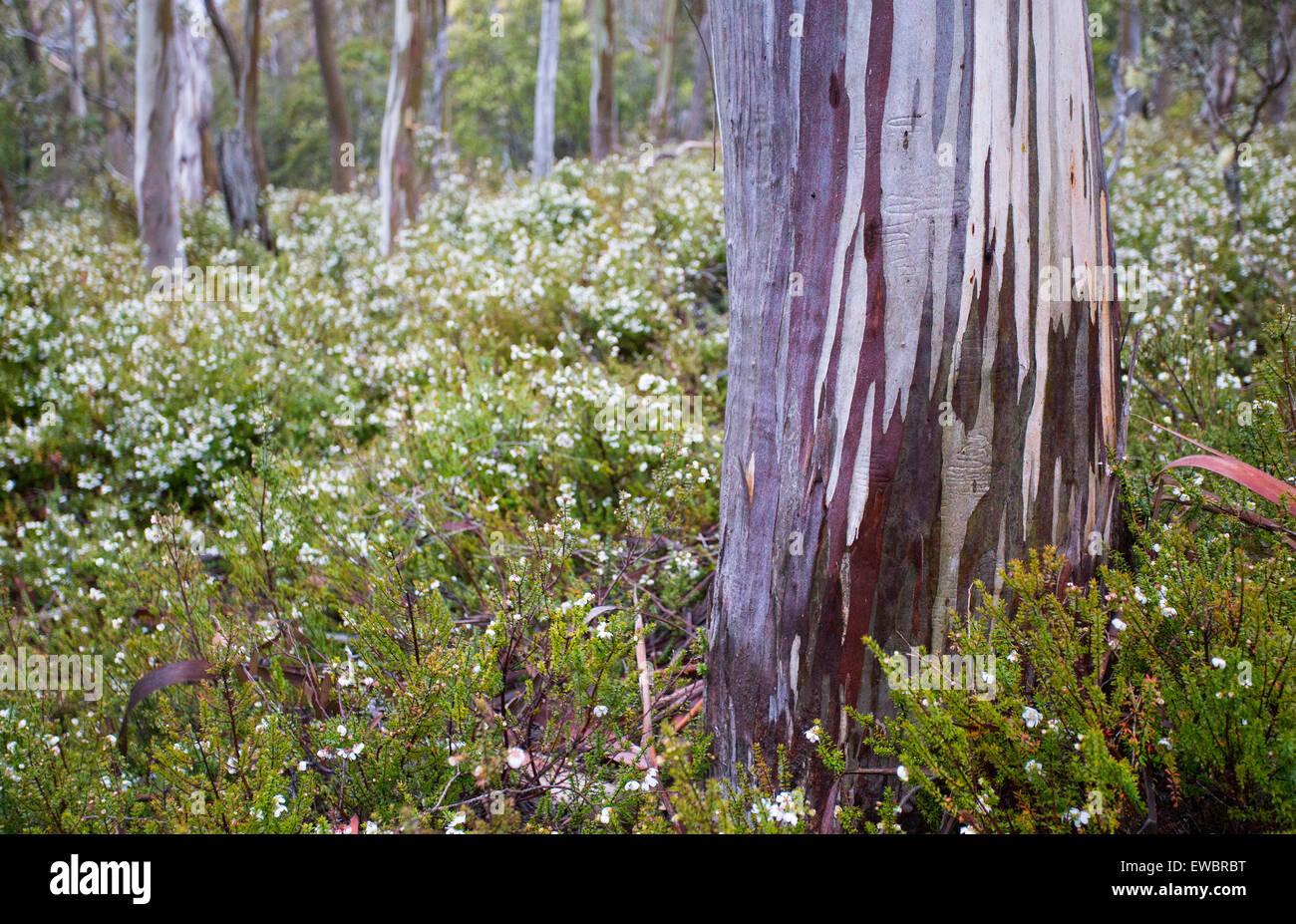 Bark patterns on a Snow Gum (Eucalyptus pauciflora), Mount Field National Park, Tasmania, Australia - Stock Image