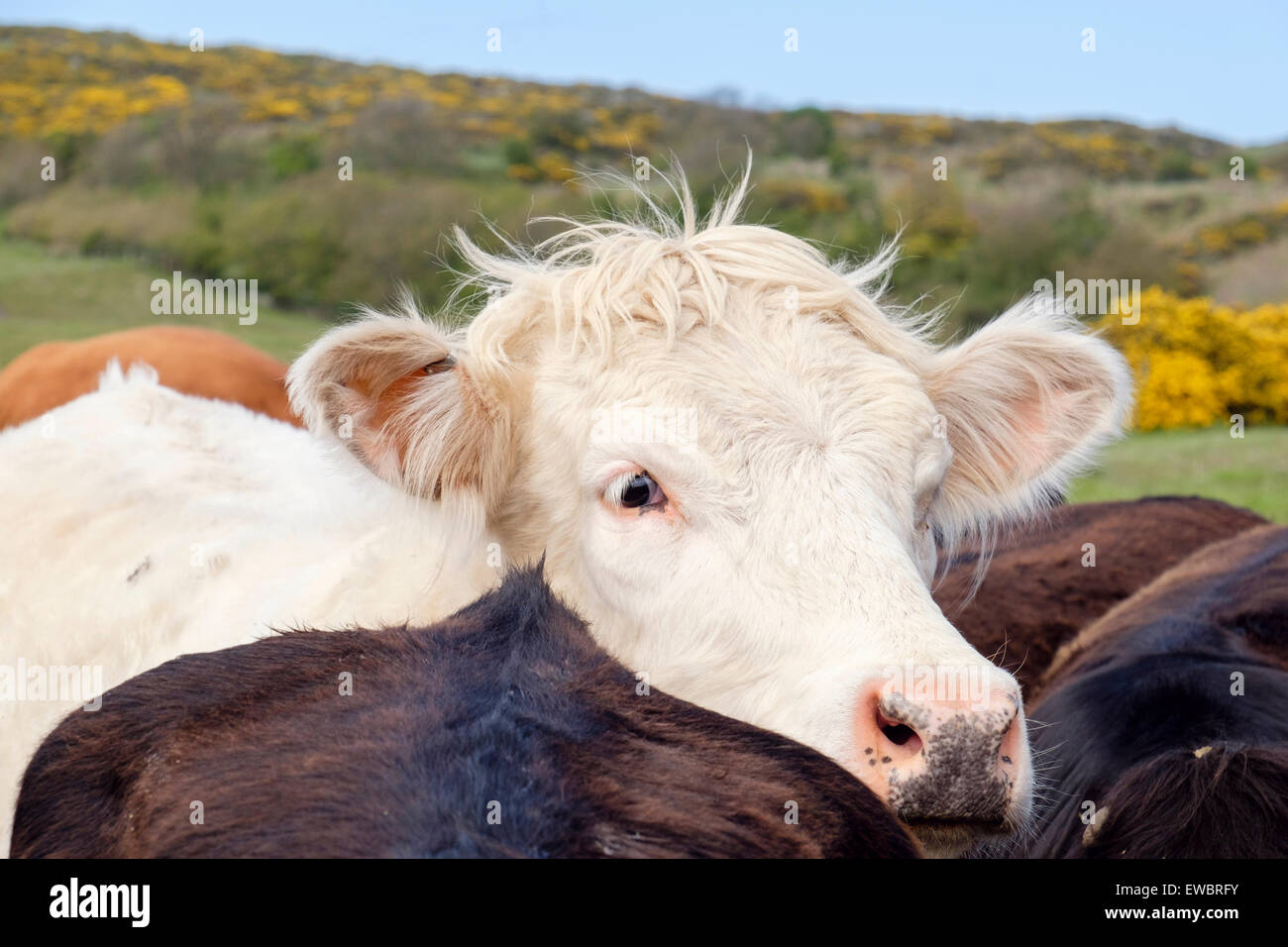 Inquisitive young white bull Bos taurus (cattle) outside on a farm. UK, Britain - Stock Image