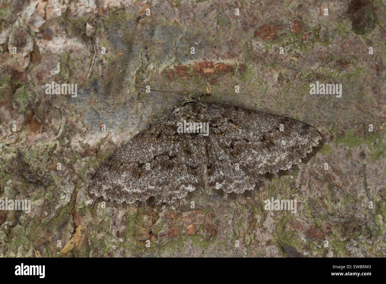 Small Engrailed, hieroglyphic moth, Zackenbindiger Rindenspanner, Pflaumenspanner, Ectropis crepuscularia, Ectropis - Stock Image