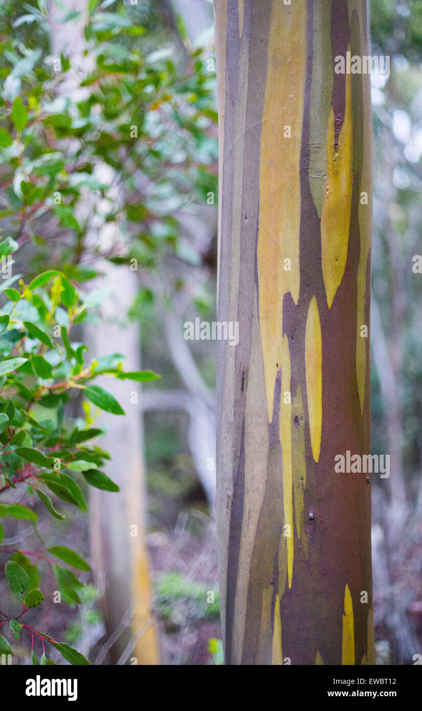 Pattern and colour on the bark of a Alpine Yellow Gum (Eucalyptus subcrenulata), Tasmania, Australia - Stock Image