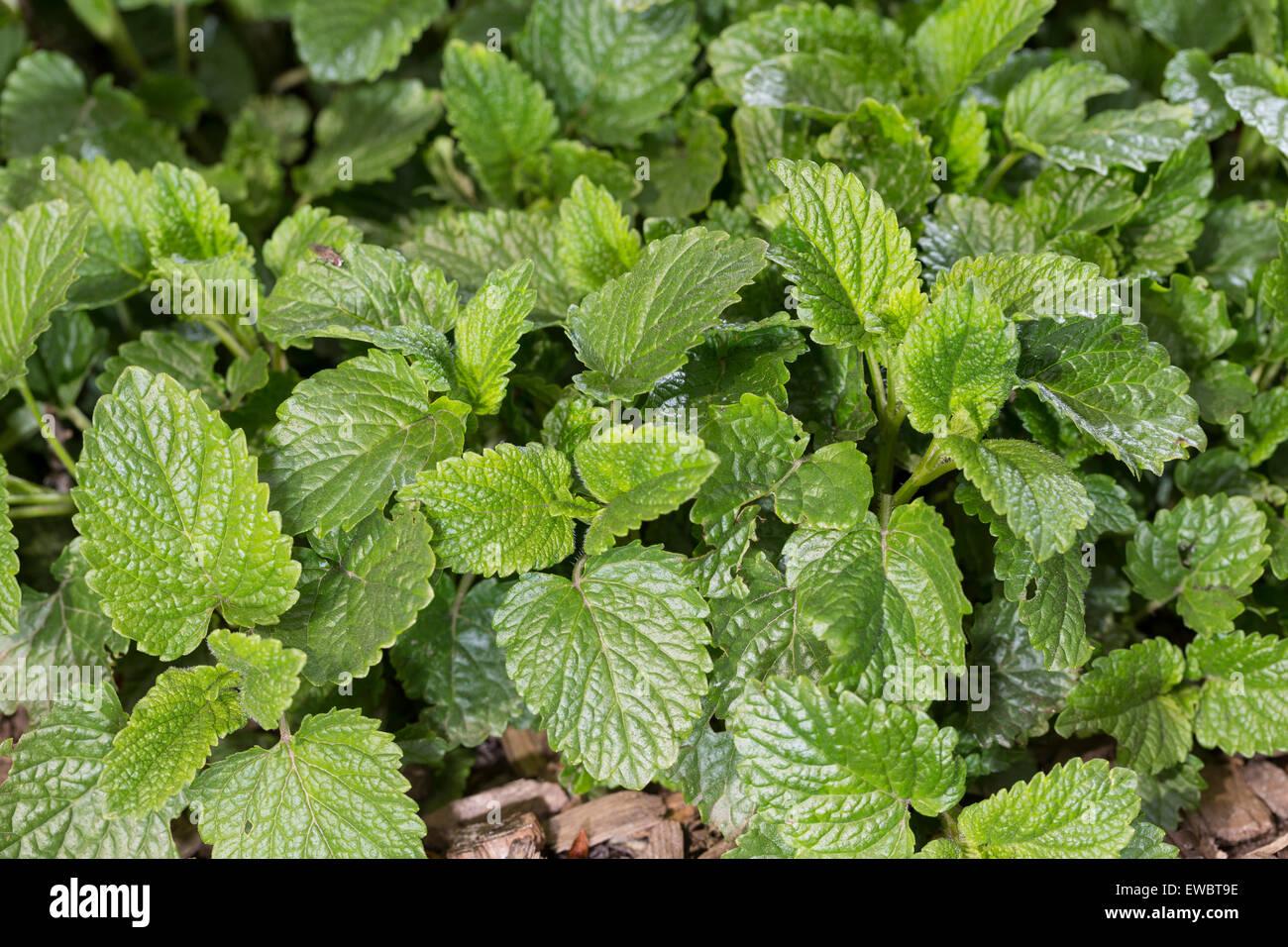 Bee Balm, Lemon Balm, leaf, leaves, Zitronenmelisse, Zitronen-Melisse, Blatt, Blätter, Melisse, Melissa officinalis, Stock Photo