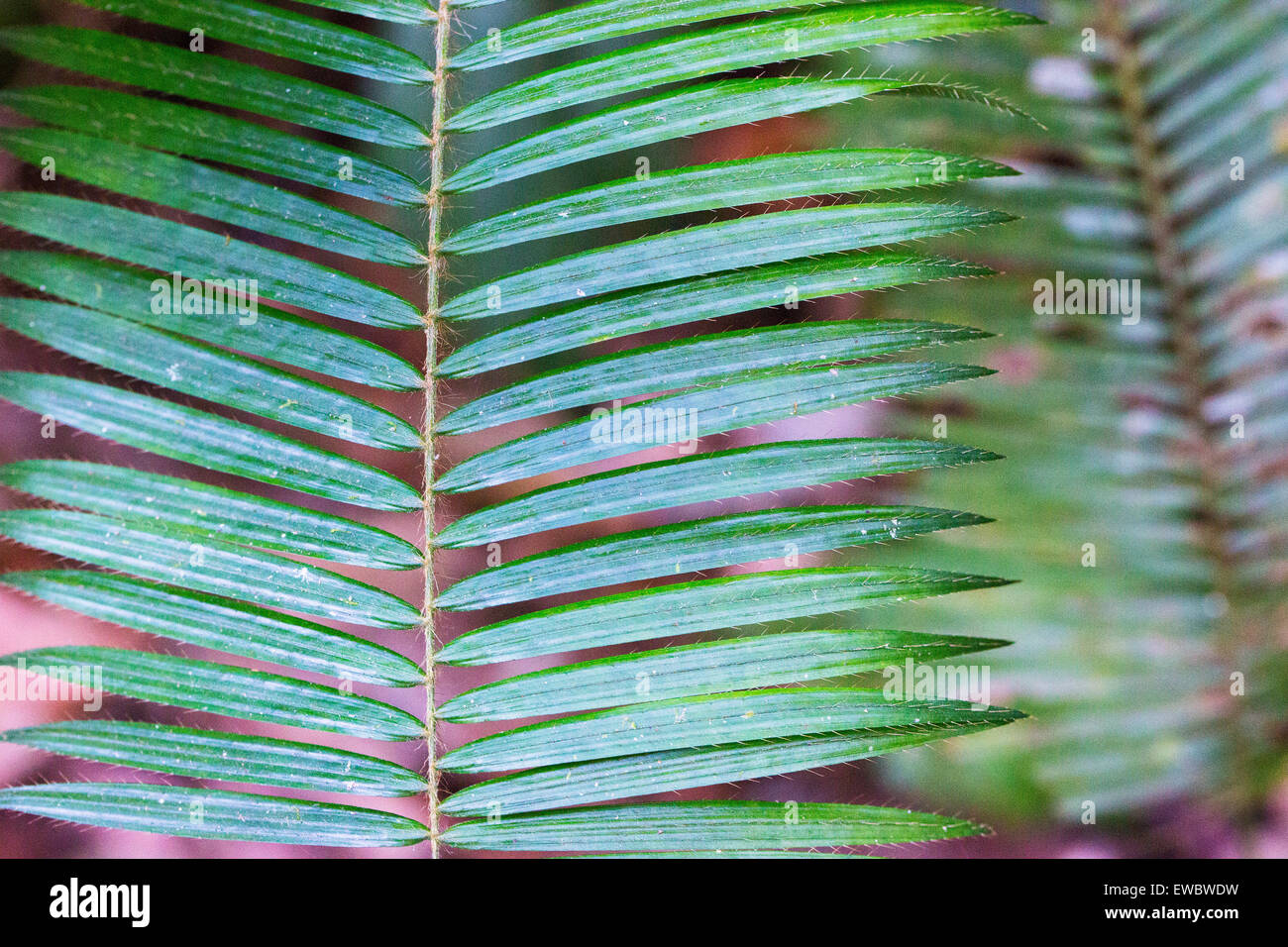 Detail of palm foliage with tiny hair-like spines on each leaf, Taman Negara, Malaysia - Stock Image