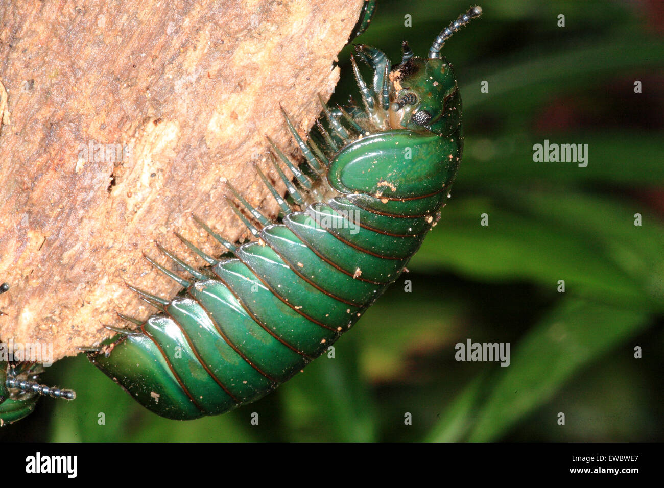 Giant Pill Millipede on hand photo WP01681