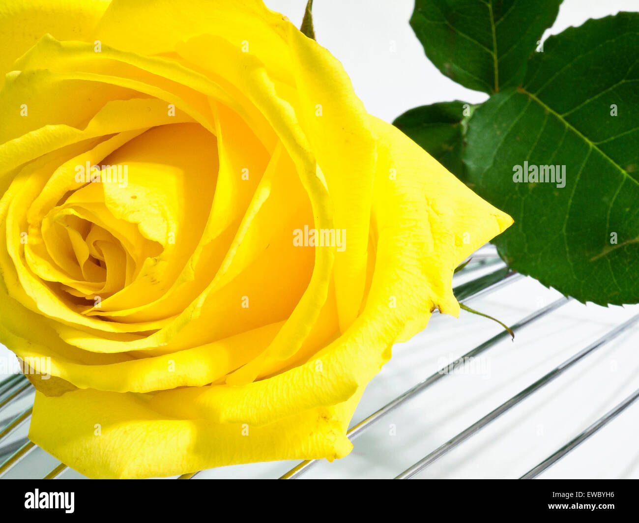 Yellow rose on a metal support Stock Photo