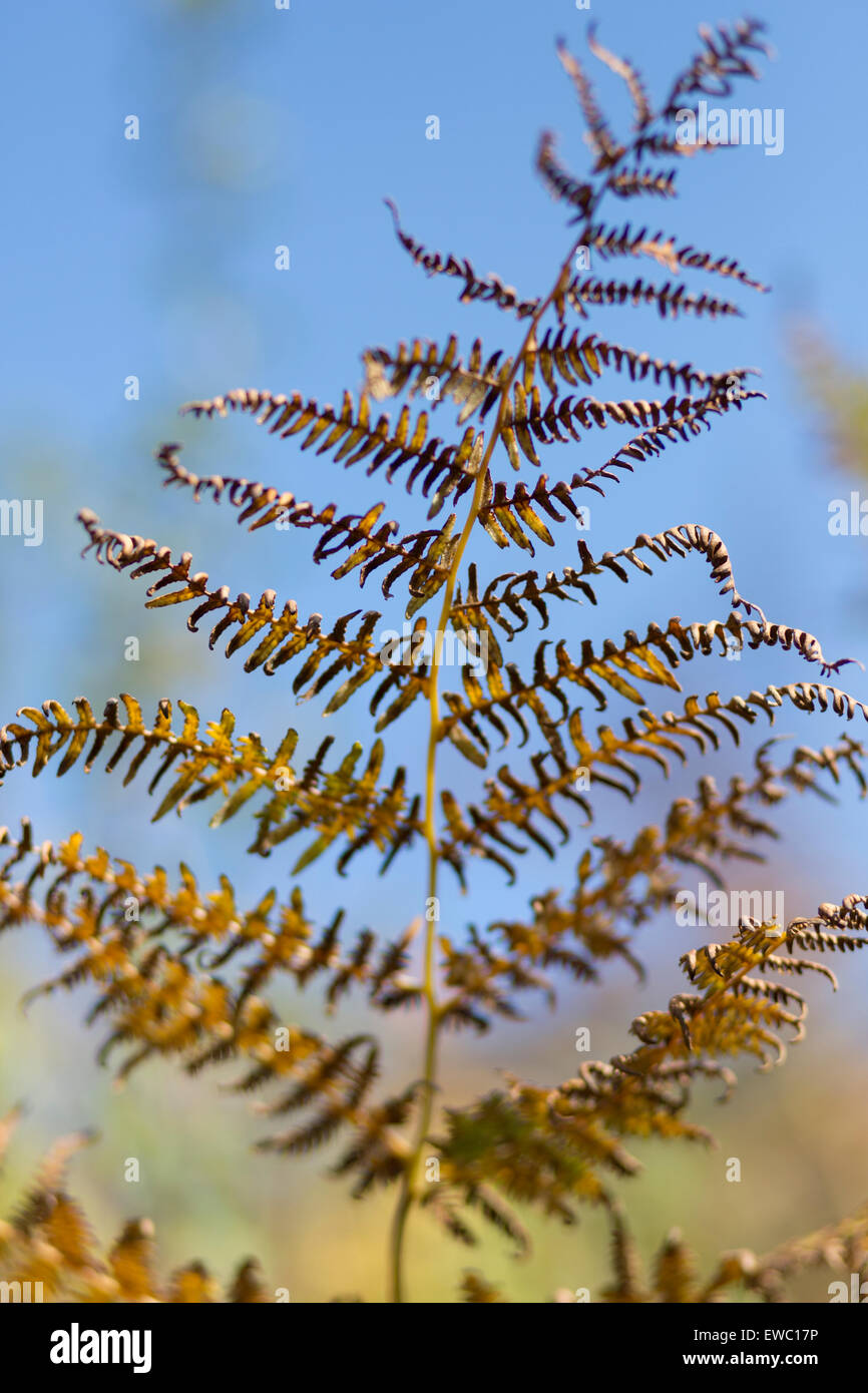 Abstract Bracken in autumn colour - Stock Image