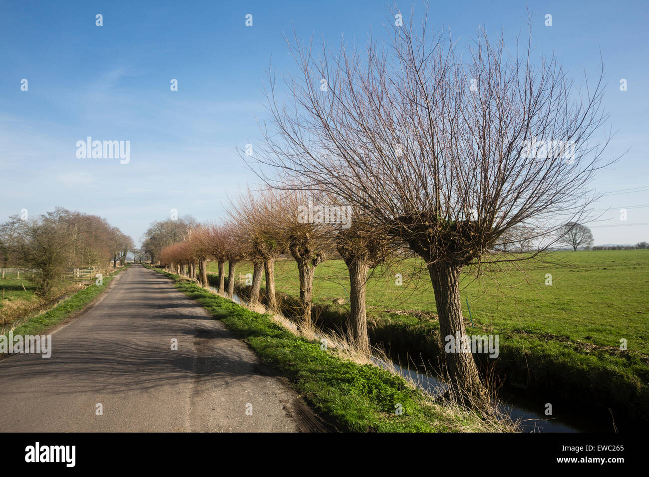 Pollarded Willows. Somerset Levels - Stock Image
