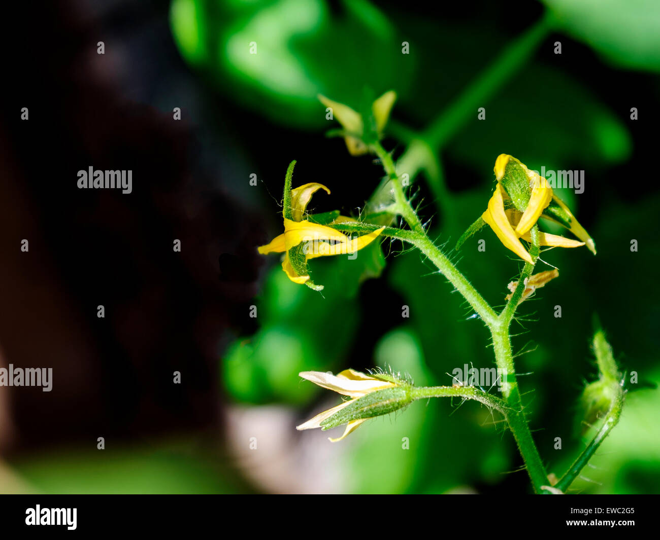 A tomato plant, Solanum lycopersicum, in bloom. USA - Stock Image