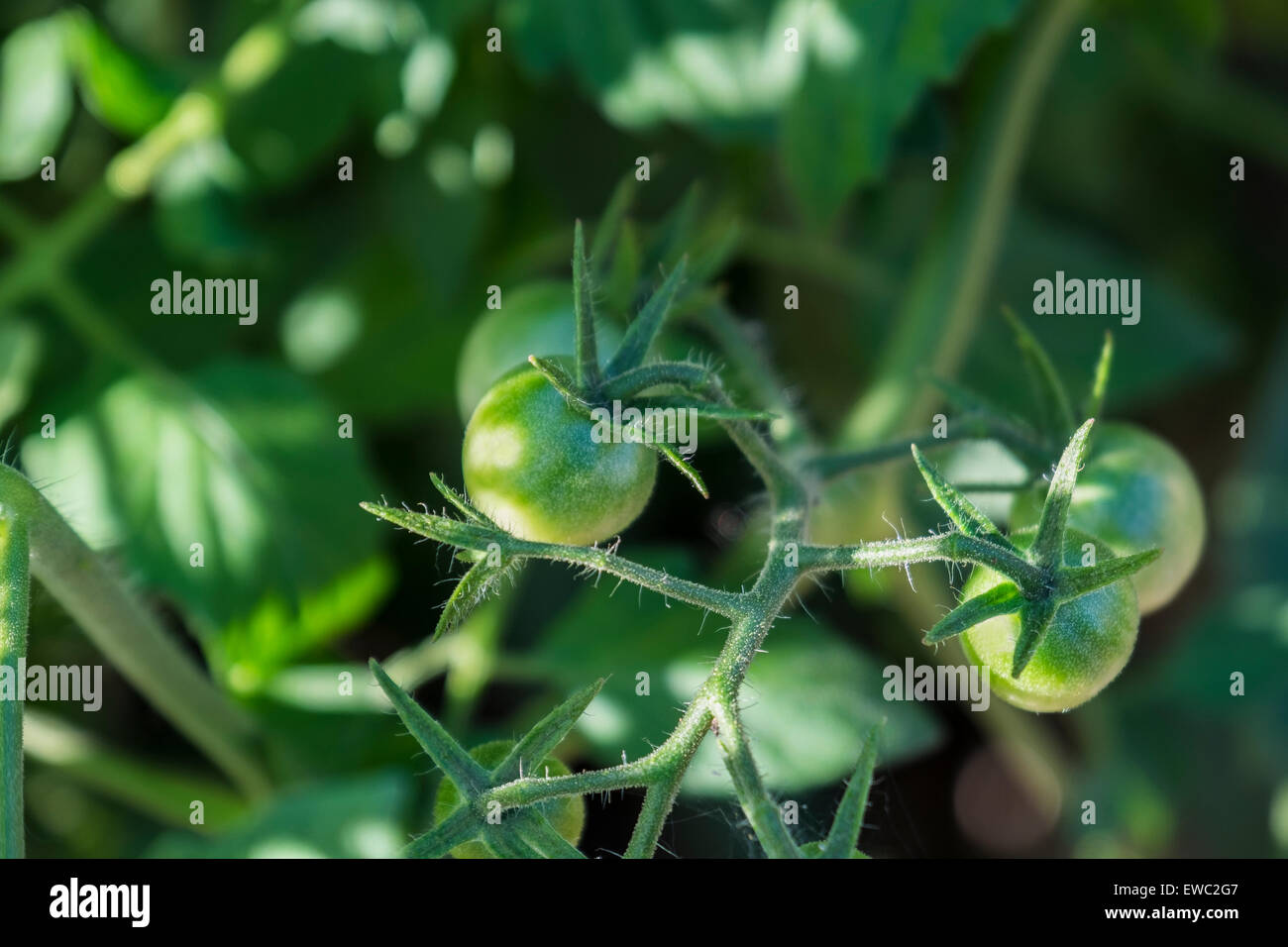 A tomato plant with small, new green tomatoes, Solanum lycopersicum. USA. - Stock Image