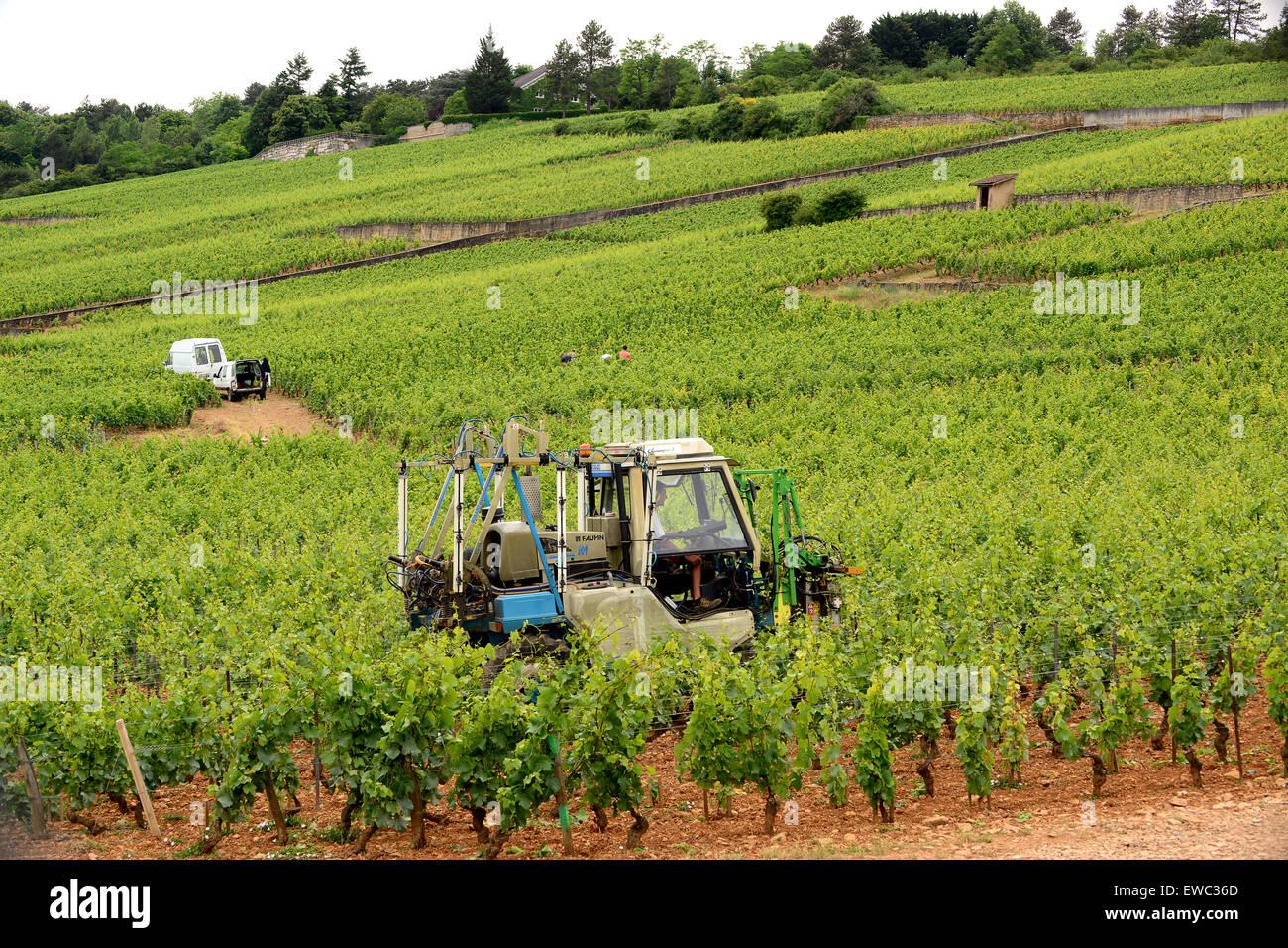 Mechanical vine trimming pruning Beaune Premier Cru vineyards in Burgundy France - Stock Image