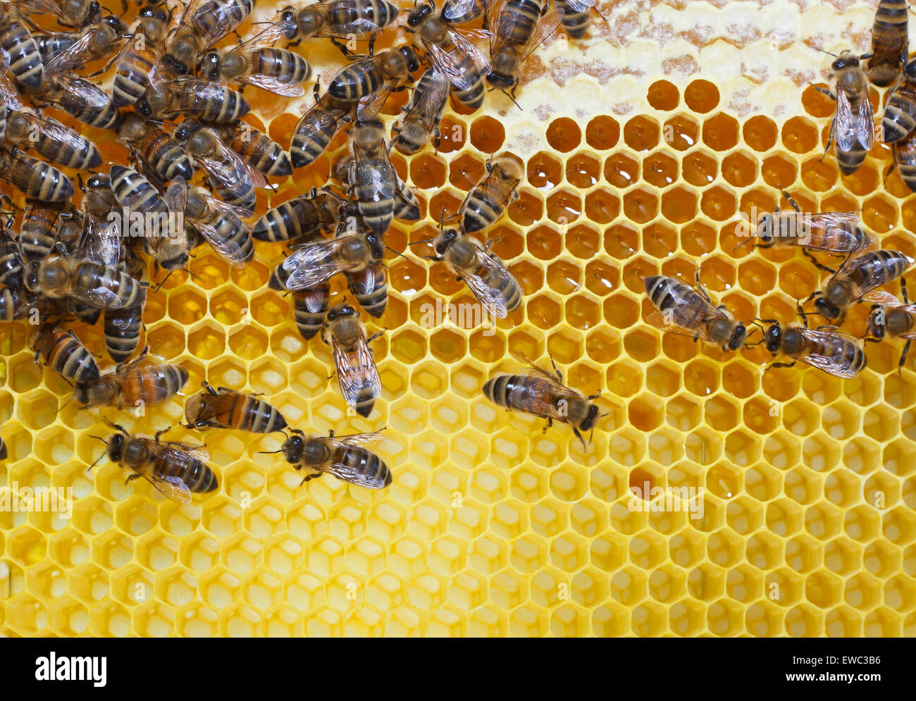 Working bees on honey cells - Stock Image