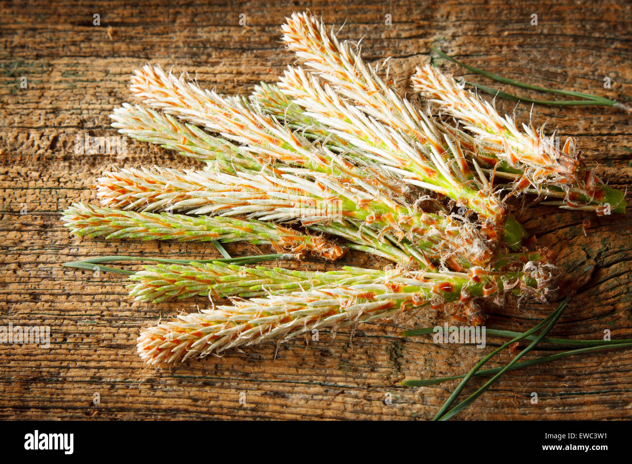 Pine buds on wooden table - Stock Image
