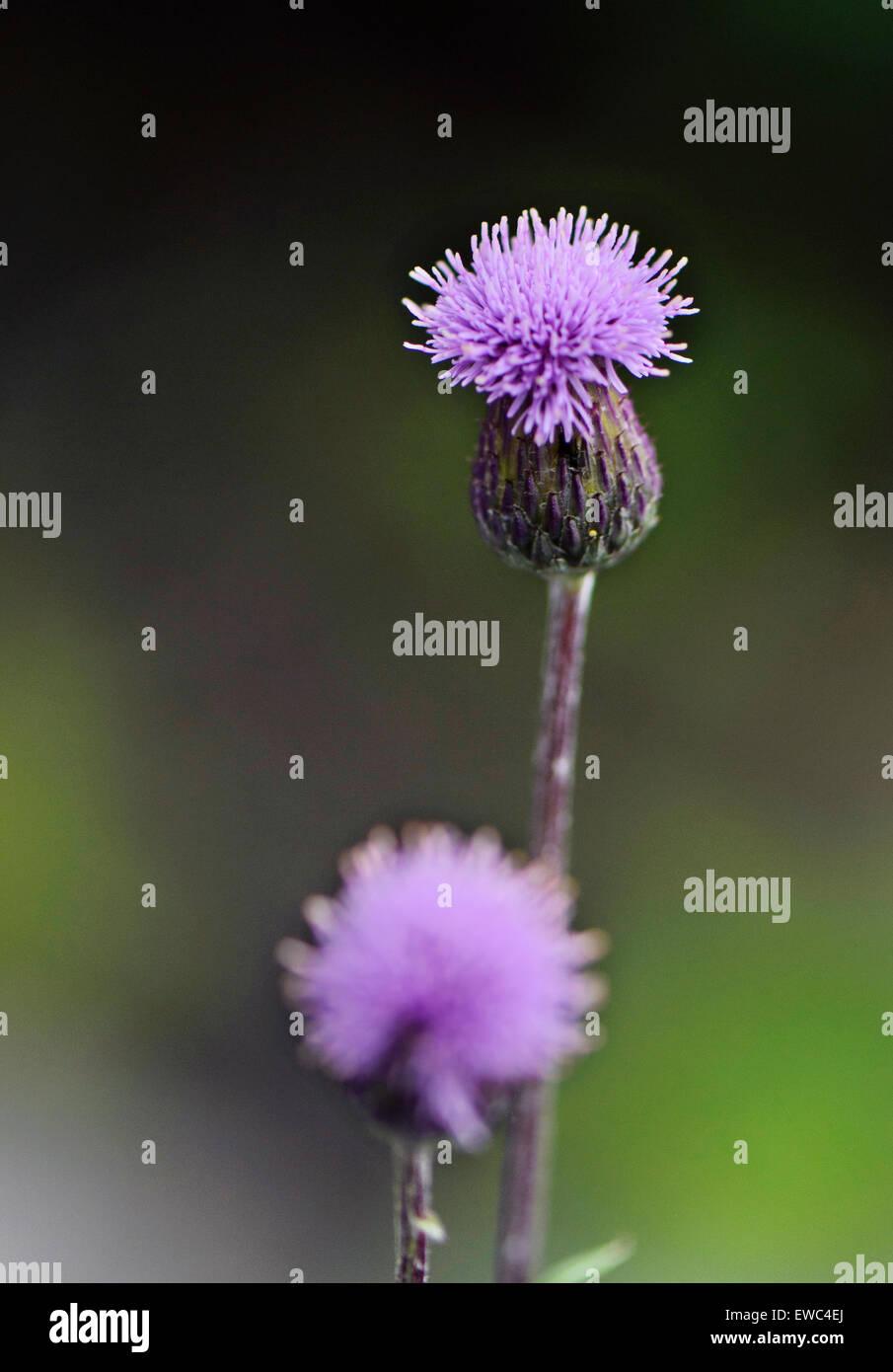 Purple Clover Flower Stock Photo 84474842 Alamy