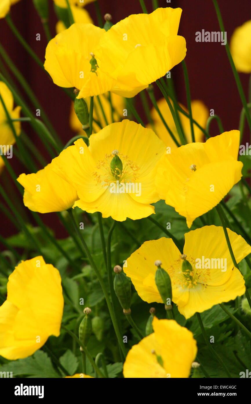 Yellow poppy uk stock photos yellow poppy uk stock images alamy yellow poppies grow in a garden in derbyshire uk stock image mightylinksfo