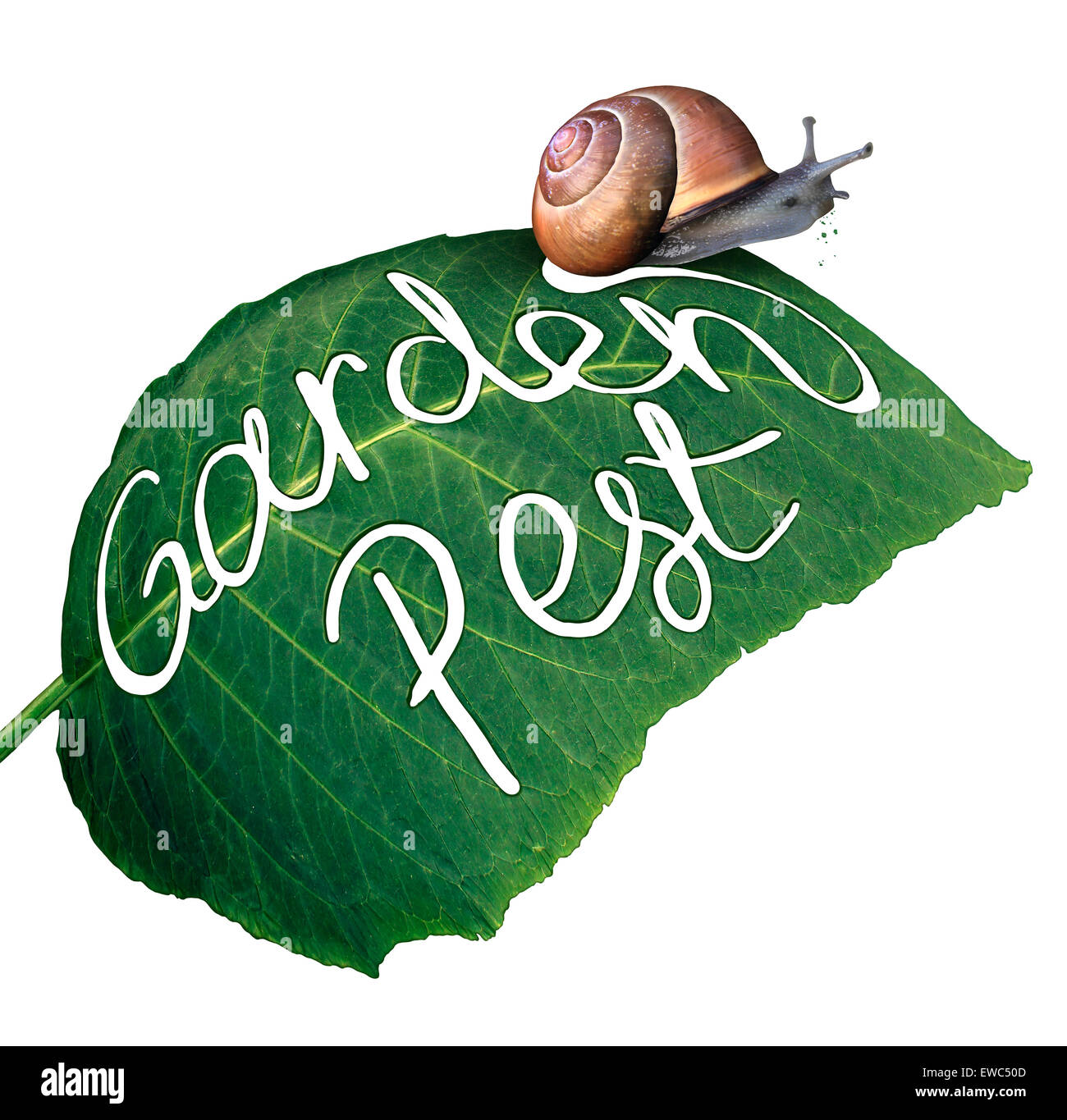 Garden pest symbol and gardening problem as a snail eating and destroying a green leaf with an eaten chewed hole - Stock Image
