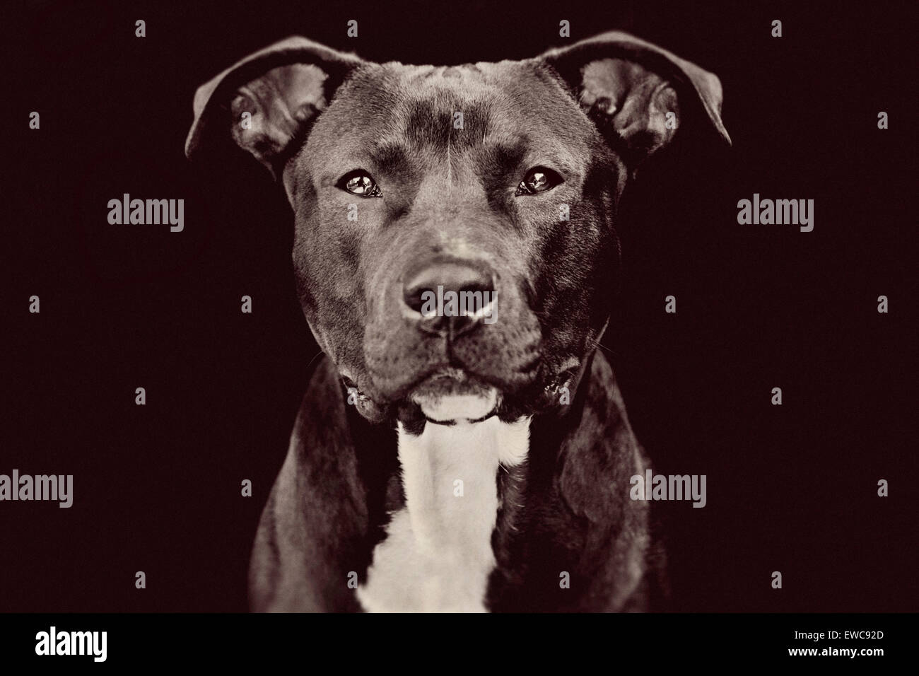 Studio portrait of a medium large adult black Pitbull dog on black background facing camera with riveting eye contact - Stock Image