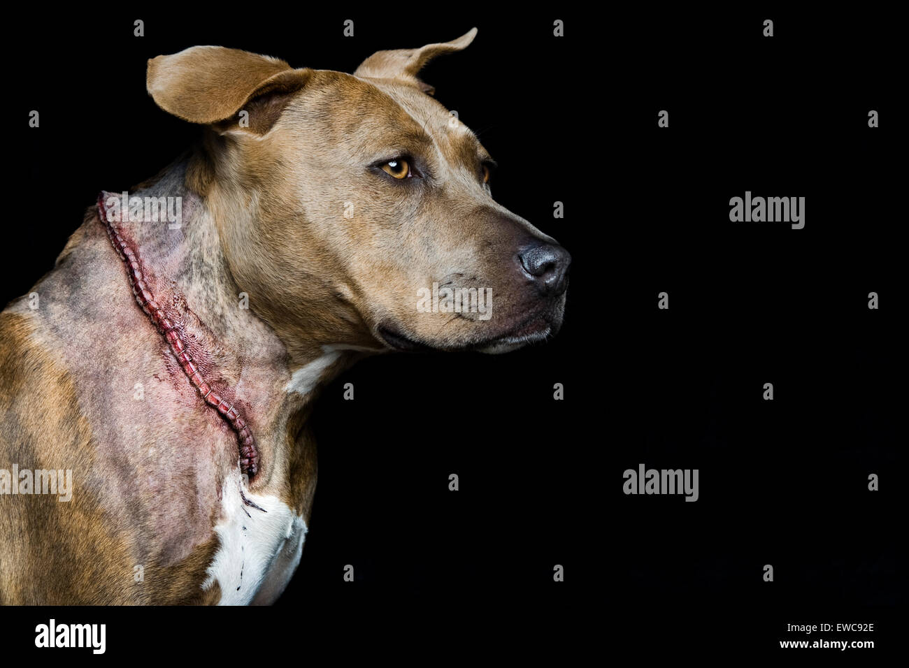 Studio headshot of adult cancer surviving Pitbull dog in profile on black background with horrific large long incision - Stock Image