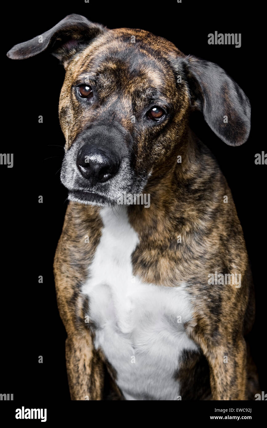 Studio portrait of an adult dog on black background brindle coat white chest and floppy ears looking into camera - Stock Image