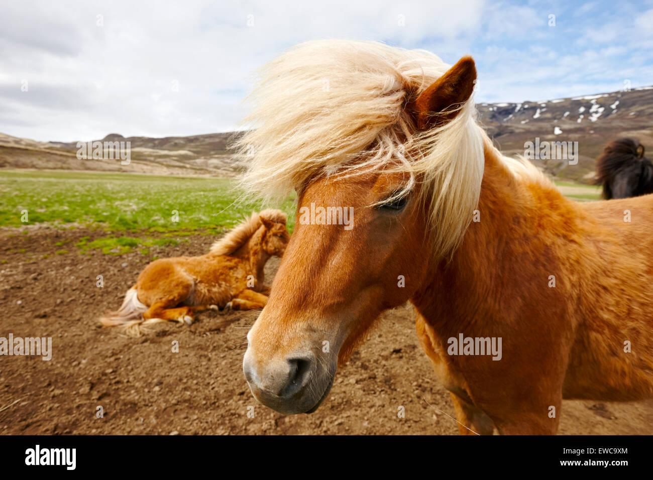 icelandic horses iceland - Stock Image