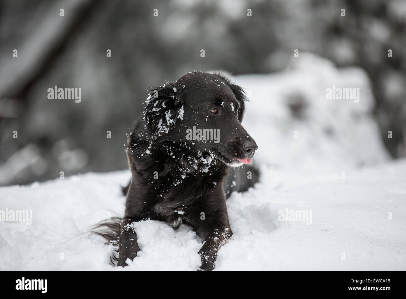 A black dog in the snow. - Stock Image