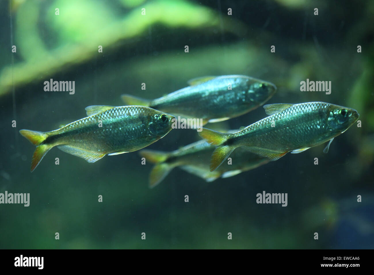 Mexican tetra (Astyanax mexicanus), also known as the blind cave fish at Frankfurt Zoo in Frankfurt am Main, Hesse, - Stock Image
