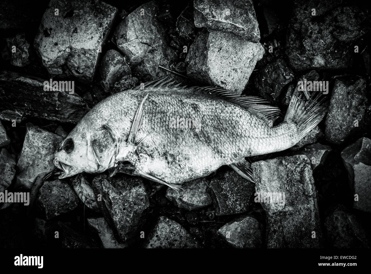 Black and White corpse of a fish lies on the bank of the river. - Stock Image
