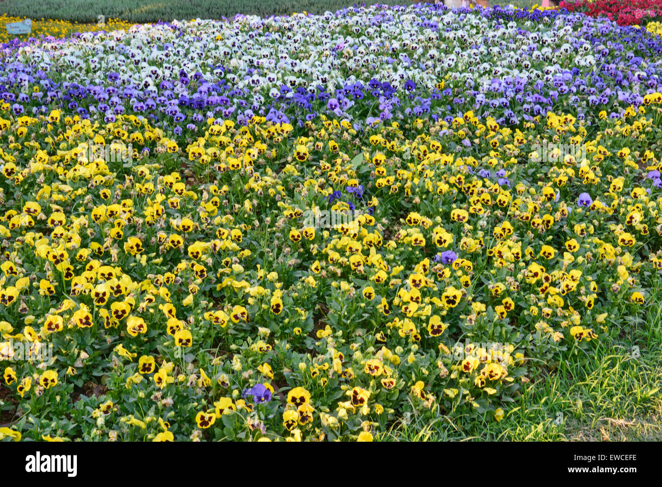 Colorful pansies in Chiang Rai, Thailand - Stock Image