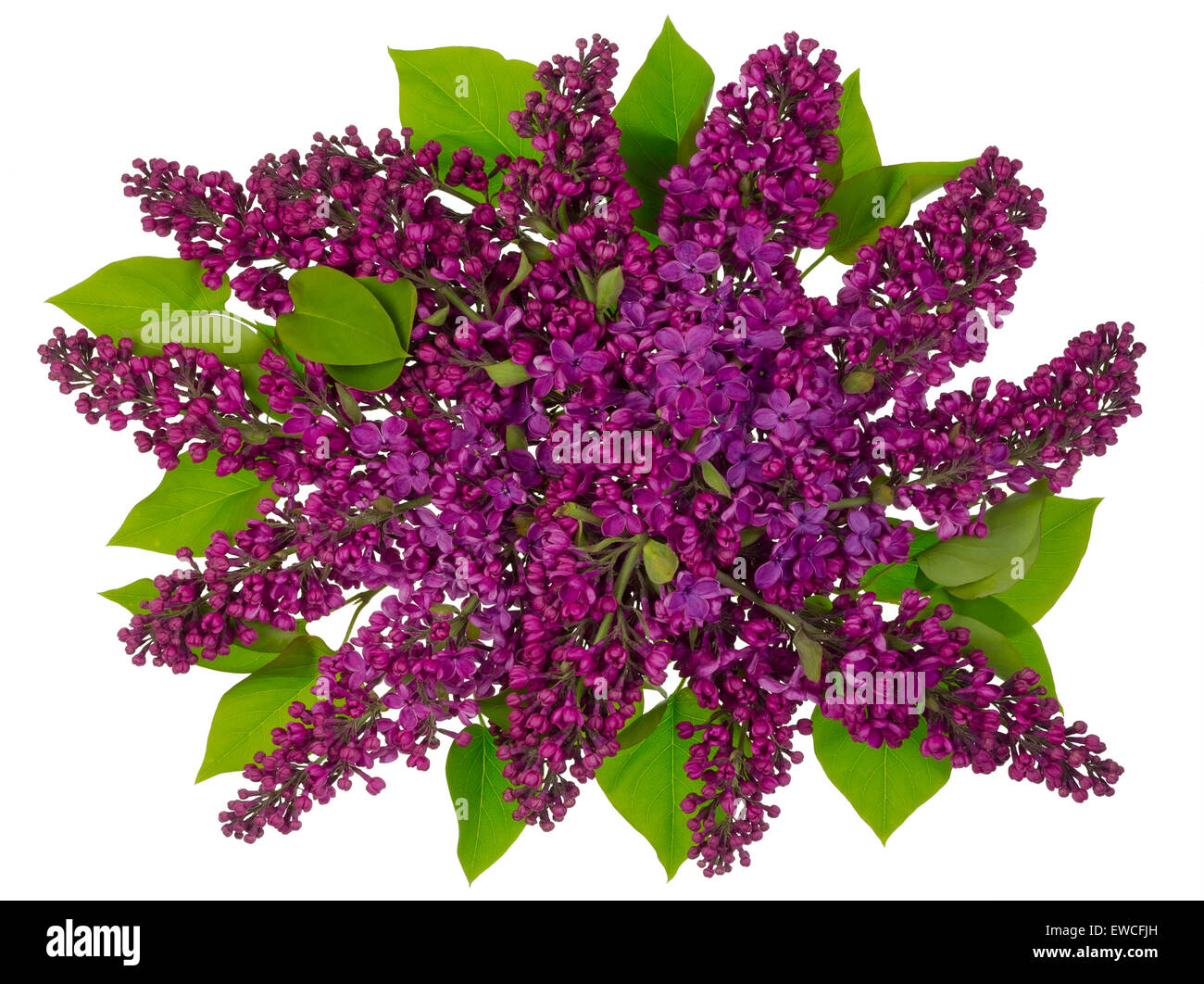 The magenta bouquet of a fresh spring lilac flies on the sky concept. Isolated on white - Stock Image