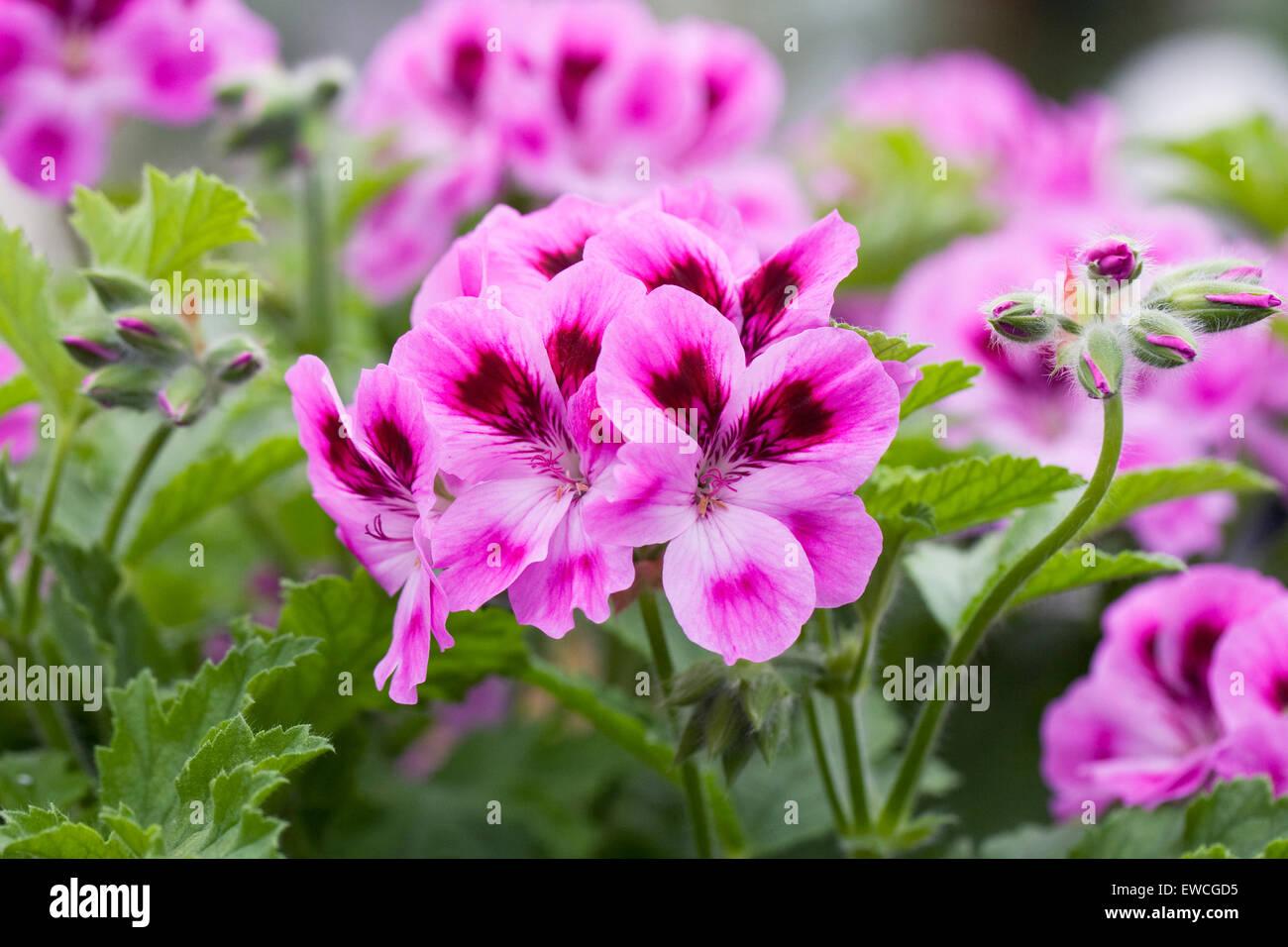 Pelargonium 'Orsett'. Scented leaved pelargonium. Stock Photo