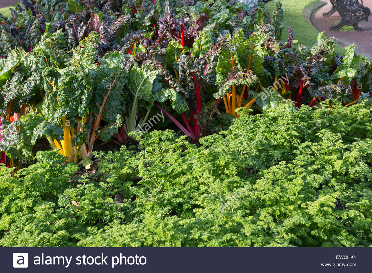 Silverbeet and parsley in ornamental garden - Stock Image