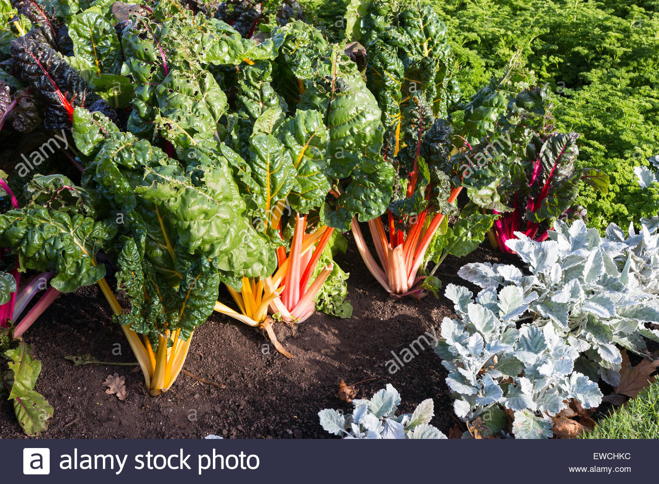Bed with Silvebeet and Parsley in a vegetable garden - Stock Image